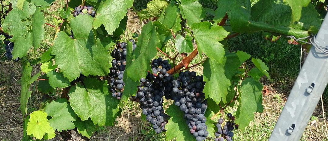 SG #135: Deutscher Wein